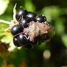 Brown Marmorated Stink Bug by Martha Medford