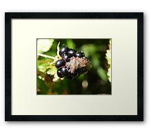 Brown Marmorated Stink Bug Framed Print