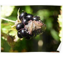 Brown Marmorated Stink Bug Poster