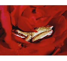 Frog in a Rose Photographic Print