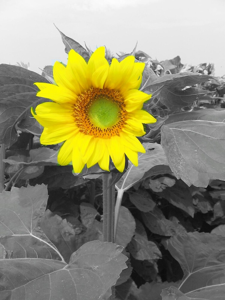 sunflower from north dakota by Jaclyn Clemens