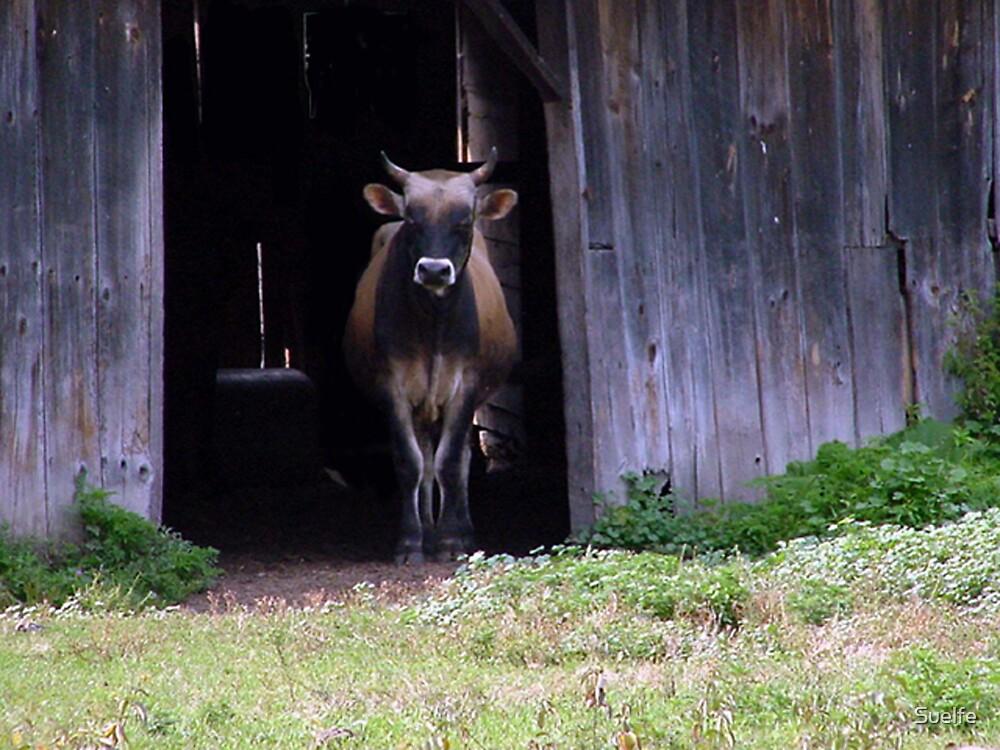 """""""Cow in Barn"""" by Suelfe"""