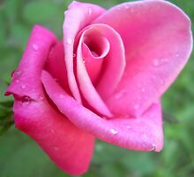 Texas Rose by CathyFoster