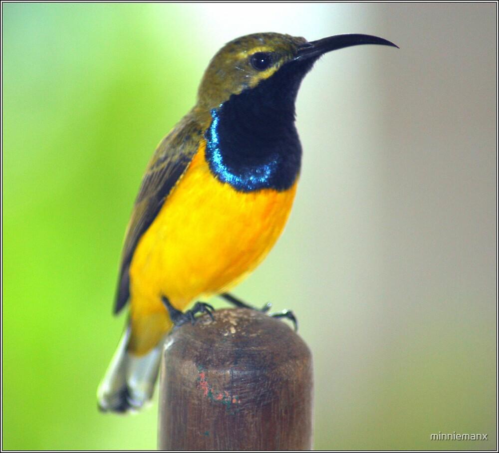 Yellow Bellied Sunbird by minniemanx