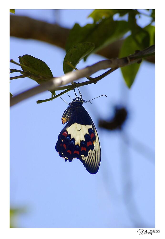 Butterfly by Paul Cotelli