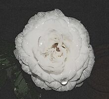 Glass Rose by dawnandchris