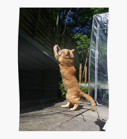 Ginger cat playing with string Poster