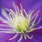 Clematis by moseszap