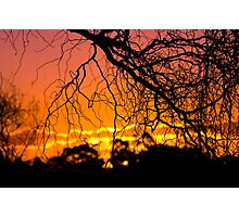 Salix Tortuosa (tortured willow) at Sunset. Photographic Print
