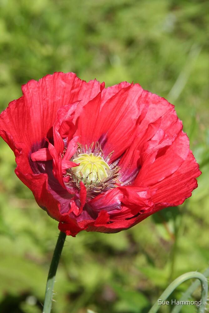 Wild poppy by Sue Hammond