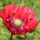 Wild poppy by Sue Hammond