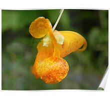 Orange Spotted Jewelweed Poster