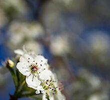 White Macro Flower by heartlandphoto