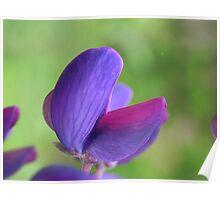 Purple Lupin Close Up Poster