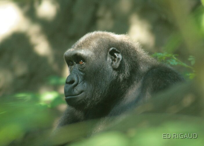gorilla by ED RIGAUD