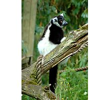 Black and White Ruffed Lemur  Photographic Print