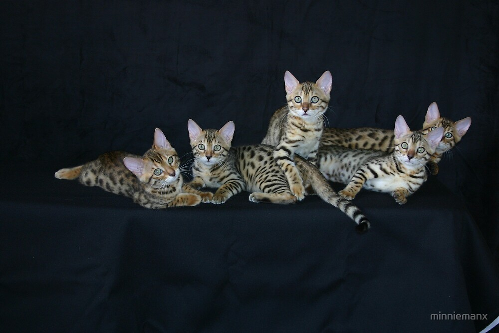 Bengal Babies by minniemanx
