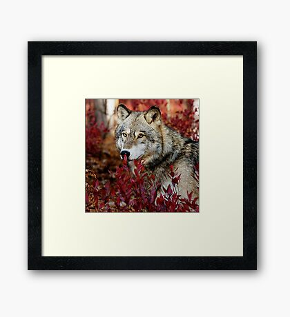 Wolf in red foliage Framed Print