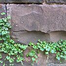 Ivy by Jeremy Mawson