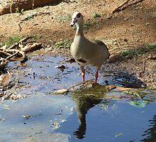 Birds reflection by Mari  Benade