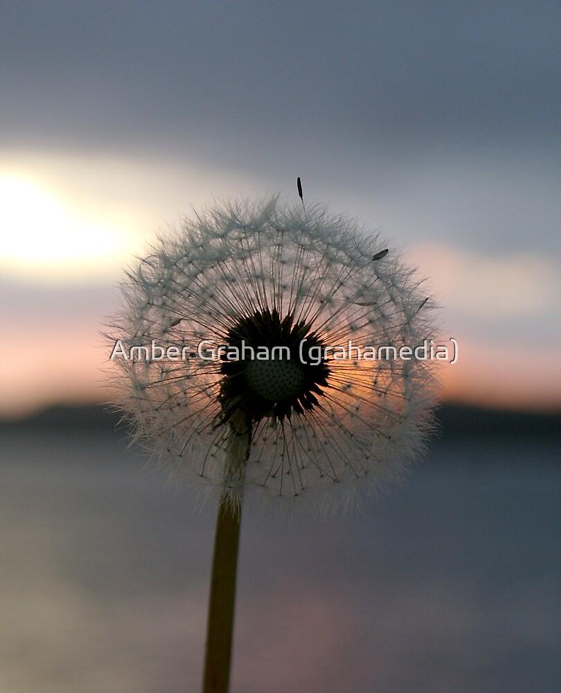 Dandelion Dusk by Amber Graham (grahamedia)