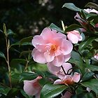 Camelias at Edinburgh Zoo by paul boast