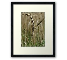 Barley Wheat Framed Print