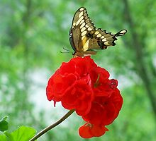 Giant Swallowtail Butterfly by sueann