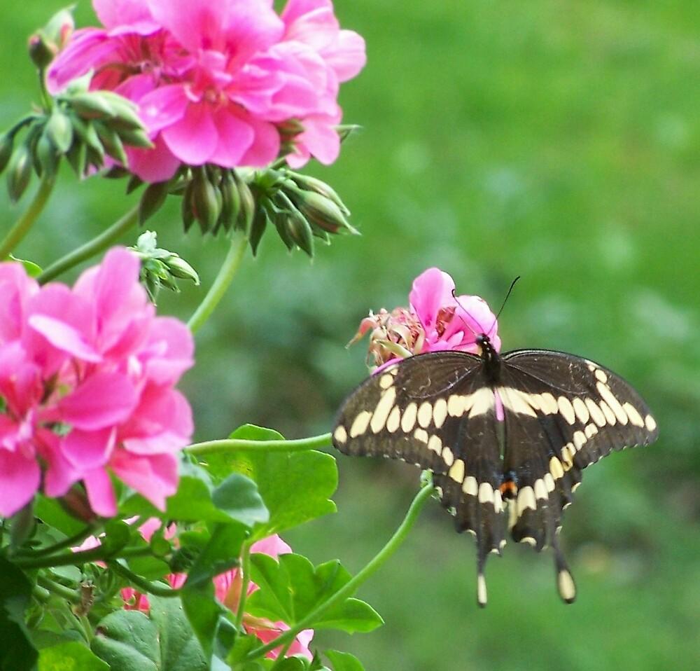 Swallowtail butterfly  by sueann