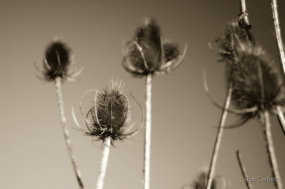 Thistles by Rob Corbett
