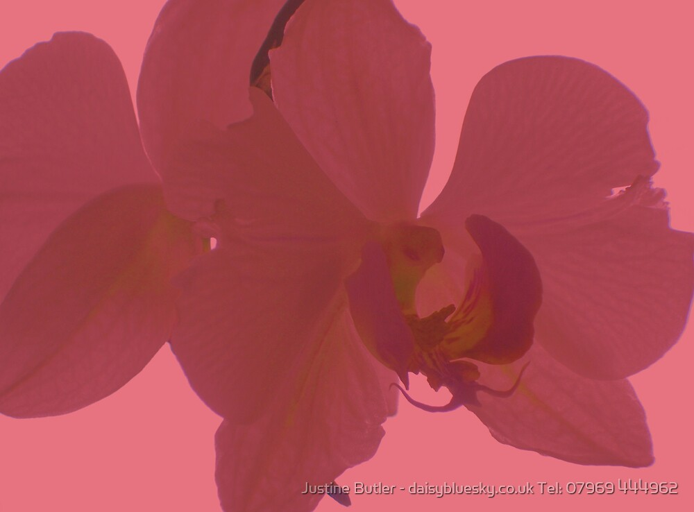 Dusky Pink Orchid on Pink Sky by Justine Butler - daisybluesky.co.uk Tel: 07969 444962