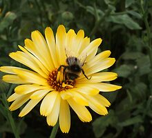 Bee on Yellow Daisy by gairsy