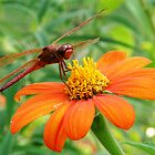 Dragonfly on a Mexican Flower by David Cortez