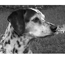 Dalmation enjoying Life Photographic Print