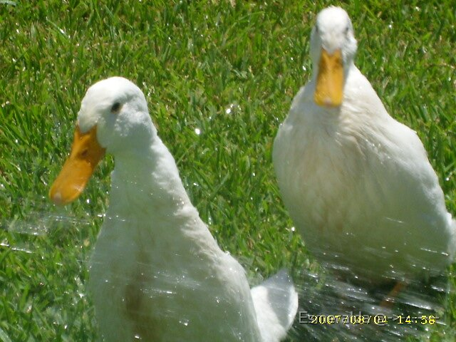 ducks  by Esmeralda @->-------