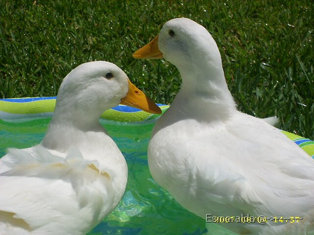 ducks by Esmeralda @->-------