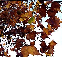 Sycamore Leaves Against the Sky by Barbara Wyeth