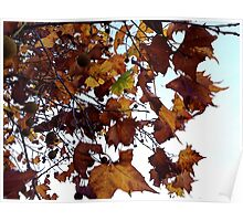 Sycamore Leaves Against the Sky Poster