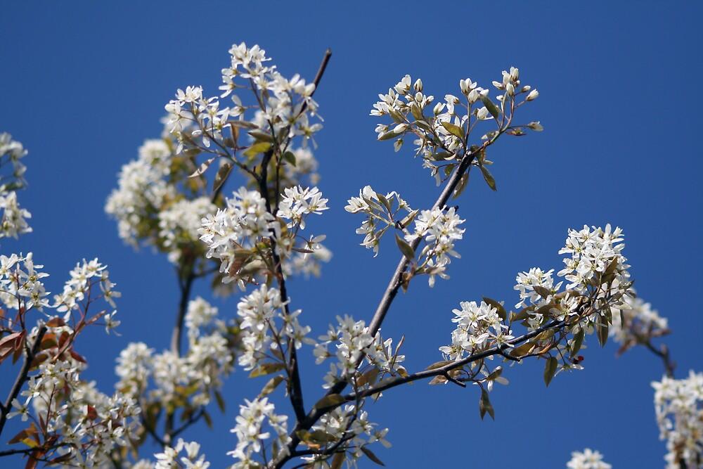 Blossom by emmajc