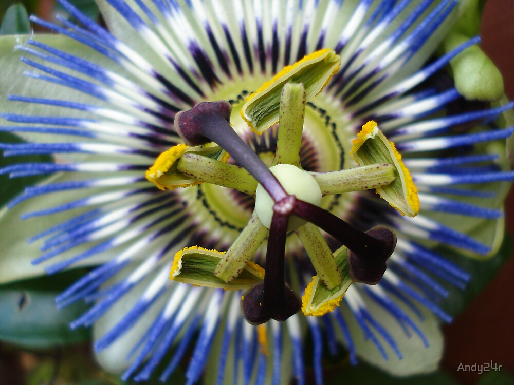 passion flower by Andy24r