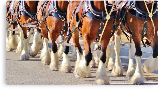 Clydesdale Horses Walking by Cynthia48