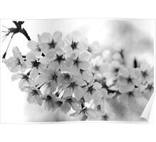 Cherry Blossom - Melbourne Botanic Gardens Poster