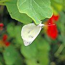 White Butterfly on Nasturtium Leaf by Steve