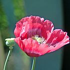 Poppy by Steve