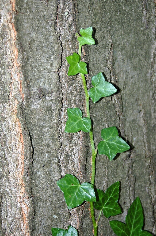 Ivy and bark by Stephen Frost