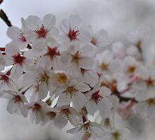 Cherry Blossom - Full colour version by petejsmith