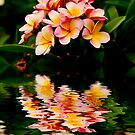 Frangipani reflection by Sheila  Smart