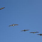 Pelicans in flight by cfam