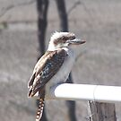 Kookaburra sits on the tank's outlet by Michelle422