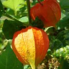 Chinese Lantern by jenndes